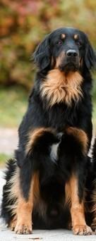 отлично прокрашенная собака с допустимым белым пятном